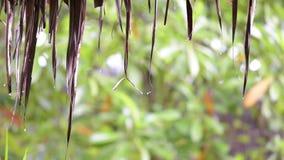 Llueva los descensos del tejado que cubre con paja en mañana y fondo verde de la naturaleza almacen de video