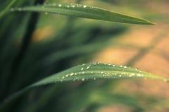 Llueva los descensos en hierba verde fresca en los rayos del sol poniente. G Imágenes de archivo libres de regalías