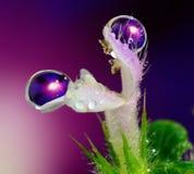 Llueva los descensos en la flor de la garganta del ` s del león Foto de archivo libre de regalías