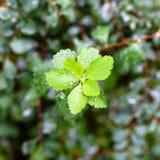 Llueva los descensos en las hojas verdes de la planta del espino Foto de archivo libre de regalías