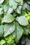 Llueva los descensos en las hojas verdes de la planta del Parthenocissus Imagenes de archivo