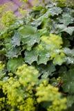 Llueva los descensos en las hojas verdes en un jardín Foto de archivo