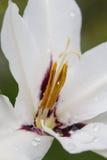 Llueva los descensos en un primer blanco de la flor del gladiolo Foto de archivo libre de regalías