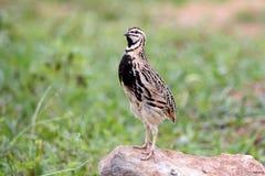 Llueva los pájaros lindos masculinos del coromandelica del Coturnix de las codornices de Tailandia Fotografía de archivo
