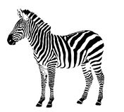 Llustration Of Zebra Stallion Royalty Free Stock Image