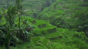 Lluvia colgante del rato de los campos del arroz Plantación verde del arroz de la lluvia que cae tropical en Guangxi, China Indus almacen de video