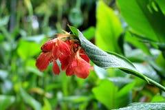 Lluvia de Buble en una flor roja Imagen de archivo libre de regalías