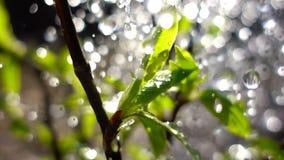 Lluvia de la caída o de primavera del agua en las hojas verdes jovenes almacen de video