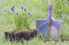 Lluvia de la pala del Muscari de la flor Fotos de archivo
