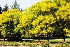 lluvia de oro del árbol Fotos de archivo libres de regalías