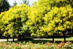 lluvia de oro del árbol Imagen de archivo libre de regalías