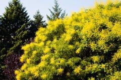 lluvia de oro del árbol Fotos de archivo