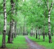 Lluvia de primavera en bosque del abedul Imagen de archivo libre de regalías