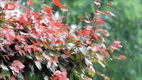 Lluvia del verano en árbol de haya almacen de metraje de vídeo