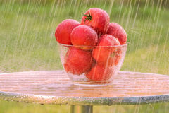 Lluvia del verano y tomates rojos Foto de archivo libre de regalías