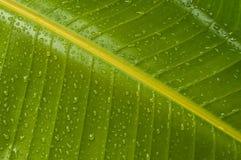 Lluvia en la hoja de la ave del paraíso Imagenes de archivo