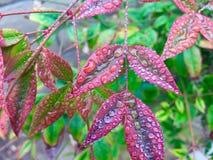 Lluvia en las hojas rojas Fotografía de archivo