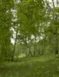 Lluvia en una arboleda del abedul de la primavera Foto de archivo libre de regalías