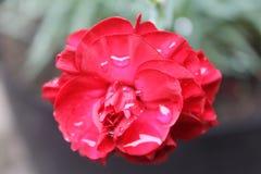 Lluvia en una flor Imágenes de archivo libres de regalías