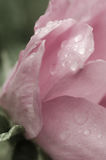 Lluvia en una Rose rosada Fotografía de archivo