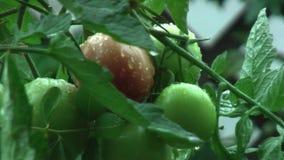 Lluvia La lluvia cae el goteo del tomate almacen de metraje de vídeo