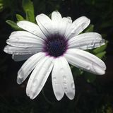 Lluvia púrpura Fotografía de archivo libre de regalías