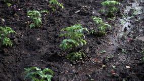 Lluvia sobre granja del tomate almacen de metraje de vídeo