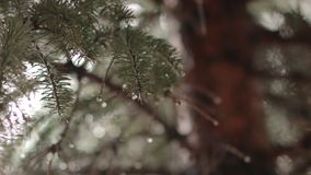Lluvia y agujas Spruce almacen de video