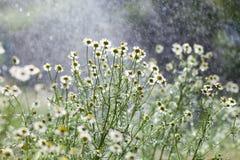 Lluvia y flores Imagen de archivo libre de regalías