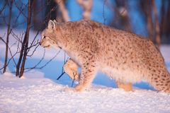 Llynx walking in the sunset. Eurasian lynx in the winter snow.  Walking in sunset Royalty Free Stock Images