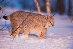 Llynx in the winter sunset. Eurasian lynx in the winter snow.  Walking in sunset Stock Image