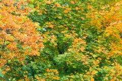 Lämnar den gula apelsinen för nedgångträd naturbakgrund Arkivfoto