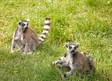 Lémur Images libres de droits