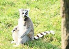 Lémur Photos libres de droits