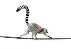 lémur Anillo-atado que camina en una cuerda Imagen de archivo libre de regalías