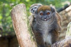 Lémur apacible de Alaotra de la laca Fotos de archivo libres de regalías