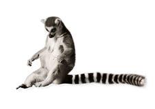 Lémur d'une manière amusante Images libres de droits
