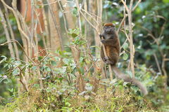 Lémur en bambou oriental Photo libre de droits