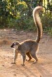 lémur Rojo-afrontado en la tierra hecha excursionismo Fotos de archivo