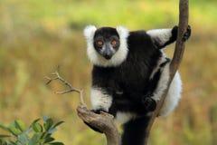Lémur ruffed noir et blanc Photo stock