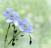 lnów kwiaty Obrazy Royalty Free