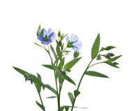 Lnów kwiaty odizolowywający zdjęcie stock