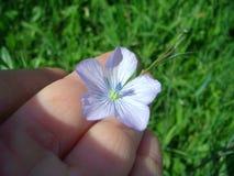 Lna kwiat Zdjęcie Stock
