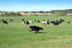 Ländliche Landschaft mit Kühen auf Wiese im Sommer Lizenzfreie Stockfotos
