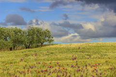 Ländlicher Landschaftsfrühling Zwischen Apulien und Basilikata: Olivenhain im Getreidefeld mit Mohnblumen Italien Lizenzfreie Stockfotos