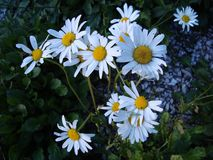 Lnerability pyrethrum Daisy in the summer garden. royalty free stock photo