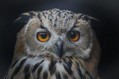Lång-gå i ax Owl Fotografering för Bildbyråer