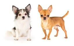 Långhårig och kort stavelse-haired Chihuahua Royaltyfri Foto