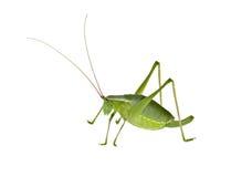 långt för green för buskesyrsagräshoppa horned Arkivbilder