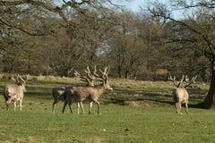 Lnown för Milu hjortar också som davidianusen för Elaphurus för hjortar för Pere David ` som s betar i ett fält på kanten av skog Royaltyfria Bilder